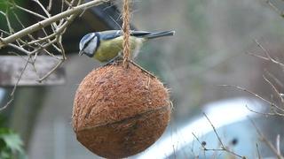 Blaumeise am Futterplatz - Meise, Blaumeise, Standvögel, Vogelfütterung, Artenschutz, Vogelschutz, Winterfütterung, Tierernährung