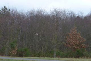 Mäusebussard #2 - Mäusebussard, Bussard, Greifvogel, Vogel, einheimisch, heimisch, Standvogel, Zugvogel, Lebensraum, Aasfresser