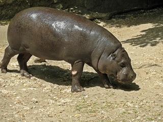 junges Flusspferd - Nilpferd, Großflusspferd, Hippo, wild animals, Flusspferd, Hippopotamus amphibius, Säugetier, Vegetarier, Pflanzenfresser, Afrika, Paarhufer, schwer, gefährlich, Wildtier, Tier, Tierkind, Baby, Jungtier, schwerfällig, Kalb