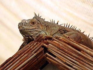 Grüner Leguan - grün, Leguan, Reptil, Schuppenkriechtier, Kriechtier, baumbewohnend, exotisch, schuppig, tagaktiv, Terrarienhaltung, Höcker, Schuppen