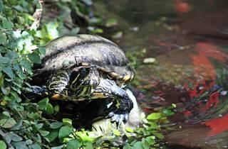 Schmuckschildkröte - Schildkröte, Rotwangenschmuckschildkröte, Zoo, Panzer, langsam, rot, Pflanzenfresser, Reptil, langsam, Keratin, bedroht, Schildpatt, Artenschutz, Terrarium, Ufer, Wasser, schwimmen
