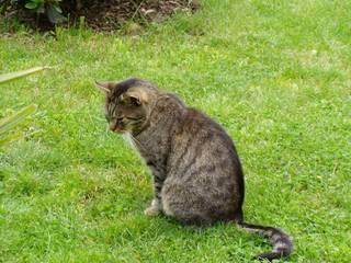 Hauskatze - Tier, Haustier, Kater, Entspannung, Katze, Wiese
