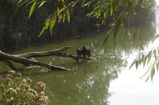Kormoran - Kormoran, Vogel, Ruderfüßer, See, Gewässer, Artenschutz, trocknen, Flügel, Naturschutz, Kolonie