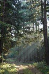 Wald - Wald, Kiefern, Nadelwald, Sommer, Weg, Dunst, Kiefer, Stimmung, Schreibanlass, Meditation, Optik, Sonnenstrahlen, Strahlen