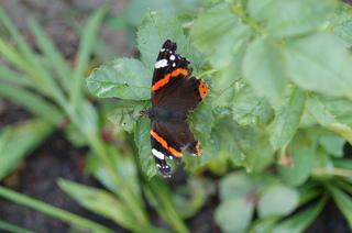 Schmetterling 2 - Schmetterling, Tagfalter, Admiral
