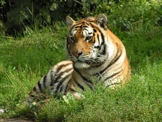Tiger - Tiger, Tier, Zootier, Großkatze, Raubtier, Raubkatze, Tarnung, Camouflage
