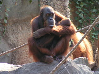 Orang-Utan - Affe, Tier, Zootier, Orang-Utan, Menschenaffe, pinkeln