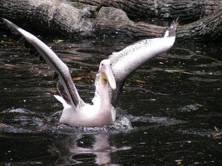 Albatros - Albatros, Wasserlandung, Tier, Zootier, Röhrennase, Seevogel, Wirbeltier, landen, fliegen, Flug, Vogel, Wasservogel