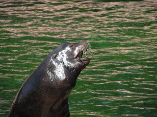 Seelöwe - Seelöwe, Tier, Zootier, Raubtier, Robbe, Kopf, rechts, Schreibanlass