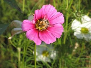 Hummel auf Blüte - Hummel, Hautflügel, Blüte, Cosmea, Schmuckkörbchen