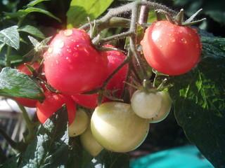 Tomate - Nutzpflanze, Tomate, Garten, Tomaten, reif, unreif, rot, Gemüse, Nachtschattengewächs
