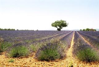 Lavendelfeld in der Provence - Nutzpflanze, Lavendel, Tourismus, Sehenswürdigkeit, Frankreich, Provence, Schreibanlass, Lippenblütler, Heilpflanze, Duftpflanze, Duft, Landwirtschaft, Agrarwirtschaft