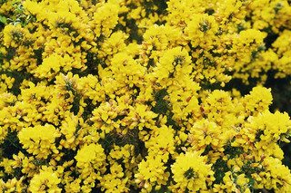 Stechginster - Ginster, Stechginster, Blüte, Natur, gelb, Schottland, Schmetterlingsblütler, Genista