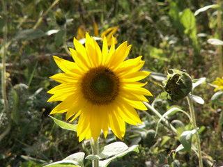 Sonnenblume - lichtdurchflutet - Sonnenblume, Blume, Spätsommer, Herbst, Korbblütler, Blüte, gelb