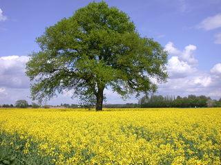 Rapsfeld in Blüte - Raps, Rapsfeld, Natur, Feld, Öl, Nutzfläche, Nutzpflanze, Landwirtschaft, Rapsöl, Kreuzblütler, Agrarwirtschaft