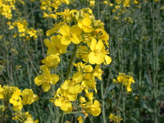 Rapsblüte - Blütenstand - Raps, Natur, Feld, Öl, Nutzpflanze, Landwirtschaft, Rapsöl, Kreuzblütler, Blüte, Rapsblüte