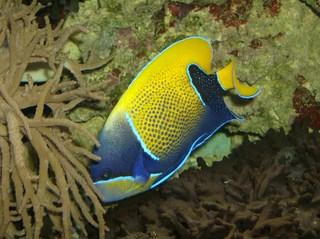 Zierfisch - Traumkaiserfisch, Pomacanthus navarchus, Zierfisch, Aquarium, blau, gelb, Salzwasserfisch, Fisch