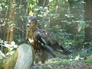 Adler - Adler, Greifvogel, Vogel, Tier, Tierpark, Zoo