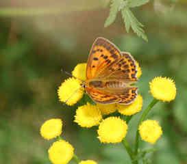 Schmetterling 3 - Schmetterling, Tagfalter, Perlmuttfalter