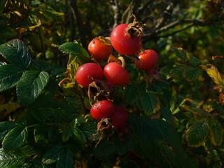 Hagebutten - Rosengewächs, Heckenrose, Hagebutte, Blätter, Frucht, rot, Juckpulver, Sammelfrucht