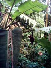 Bananenstaude - Banane, Bananen, Obst, Nutzpflanze, Tropen, tropischer Regenwald, Klimazonen, Staude