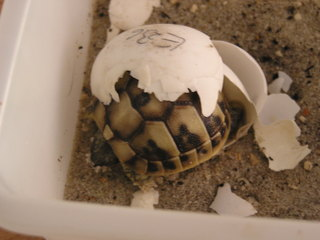 Griechische Landschildkröte - Reptilien, Griechische Landschildkröten, Schildkröte, Ei, Jungtier, bedroht, Haustier, Artenschutz, Washingtoner Abkommen, schlüpfen, Panzer, Haustier, Keratin, Schildpatt