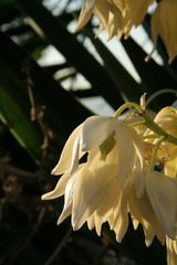 Blüte einer Yucca