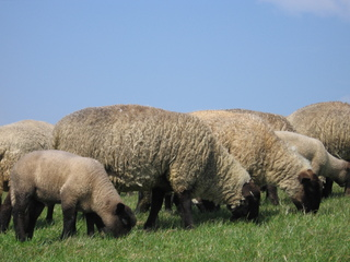 Schafe auf dem Deich - Deich, Nordsee, Schafe, Schaf, Gras, grasen, Beweidung, Küstenschutz, Nutztier, Wolle, weich, Milch, Fleisch, Paarhufer, Wiederkäuer, Herde