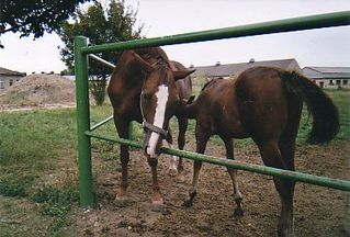Stute mit Fohlen - Haustier, Nutztier, Pferd, reiten, Hobby, braun, genügsam, trittsicher, geländegängig, klein, robust, Huf, Einhufer, Stute, Fohlen, Säugetier, Koppel, säugen, wachsen, leben, Jungtier