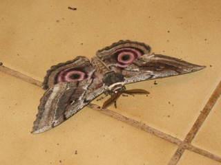 Kleines Nachtpfauenauge - Nachtfalter, Saturnia Pavonia, Schmetterling, Insekt, Fühler, grau, rosa