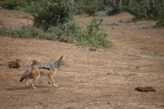 Schabrackenschakal - Schakal, Raubtier, hundeartig, Wildhund, Savanne, anpassungsfähig