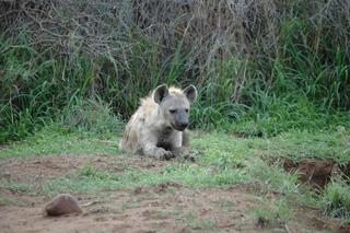 Hyäne - Hyäne, Tüpfelhyäne, Raubtier, Jäger, katzenartig, Säugetier, gepunktet, Passgänger, Aasfresser, nachtaktiv