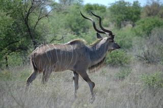 Kudu - Kudu, Schraubengehörn, Antilopenart, männlich, Paarhufer, Wiederkäuer, großer Kudu, Antilope, Savanne, Tarnung, Camouflage