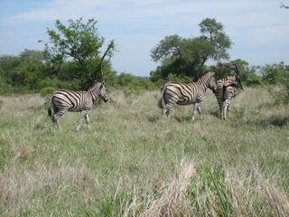 Zebras - Zebra, Unpaarhufer, Streifen, Pferd, Mähne, Grasfresser, schwarz-weiß, gestreift, Savanne, Tarnung, Camouflage