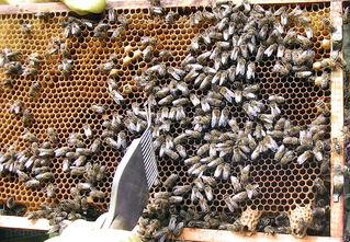 Bienen auf einer Wabe - Biene, Bienen, Wabe, Honig, Imme, Bienenvolk, Bienenstaat, fleißig, Hautflügler, Insekten, Apiformes, Stachel, stechen, Struktur, Ballung