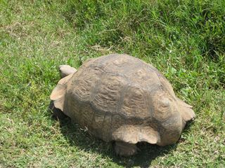 Schildkröte - Schildkröte, Landschildkröte, Reptil, Panzer, Schuppen, Winterruhe, langsam, Keratin, bedroht, Schildpatt, Artenschutz, Washingtoner Abkommen, Afrika