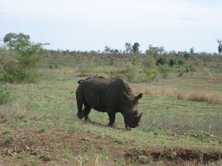 Nashorn - Nashorn, Afrika, Panzer, Dickhäuter