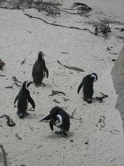 Kappinguine - Pinguin, Südafrika, Vogel, schwimmen, Wassertier, Antarktis