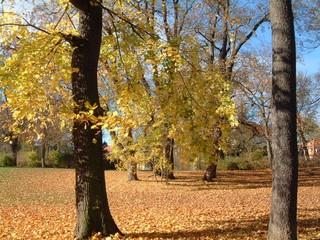 Herbstimpressionen - Herbst, Weimar, Blätter, Färbung, Baum, rot, gold, bunt, Laub