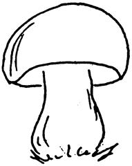 Steinpilz - Pilz, Steinpilz, Speisepilz, genießbar, essbar, Schwammerl