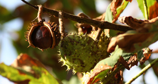 Frucht einer Rosskastanie - Frucht, Herbst, Kastanie, Rosskastanie, gefingert, Schale, stachelig, Heilpflanze, glatt, glänzend, braun, grün, Fruchtschale, Futterpflanze, Futter, basteln, Samen, Laubbaum
