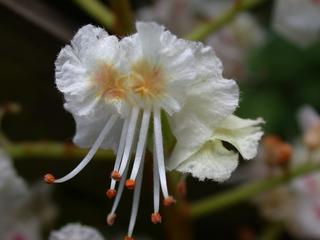Blüte einer Rosskastanie - Kastanie, Rosskastanie, Blüte, zweikeimblättrig, Seifenbaumgewächs