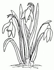 Schneeglöckchen - Schneeglöckchen, Frühblüher, Frühling