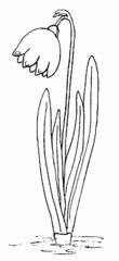 Märzenbecher / Frühlingsknotenblume - Frühlingsknotenblume, Märzenbecher, Märzbecher, großes Schneeglöckchen, Frühblüher