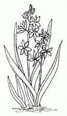 Blausternchen / Scilla - Blausternchen, Scilla, Frühblüher, Frühling