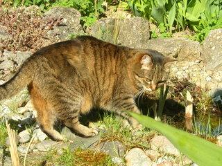 Katze - Tier, Haustier, Katze, Hauskatze, Jagd, getigert
