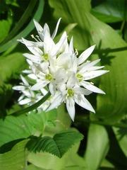 Bärlauchblüte - Nutzpflanze, Bärlauch, Allium, Küchenkraut, Blüte, weiß, Gewürz, Heilpflanze
