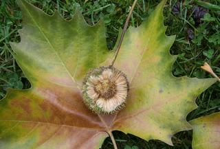 Platane_Fruchtkapsel offen - Platanengewächse, ahornblättrig, Platane, Kugel, Frucht, Blatt, Laubbaum