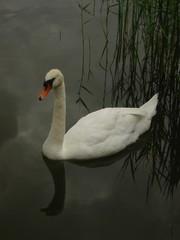 Schwan - Schwan, Wasservogel, Höckerschwan, Wasser, Schnabel, schwimmen, weiß, spiegeln, Spieglung