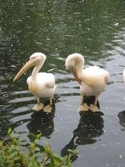 Zwei Pelikane - Pelikan, Vogel, Wassertier, Hautsack, Kehlsack, Wasservogel, Meer, Fischfresser, Schwimmvogel, Jungtier